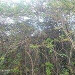 Phyllanthus casticum Habit