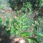 Coptosperma graveolens Fruit