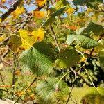 Tilia cordata Leaf