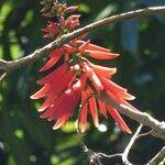 Erythrina amazonica