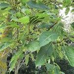 Phytolacca dioica Foglia