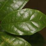 Glycydendron amazonicum