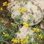 Lotus lancerottensis