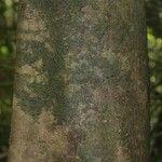 Swartzia canescens