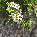 Sannantha leratii 花