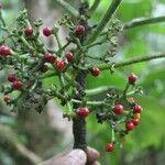 Reinhardtia latisecta