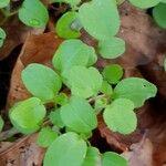 Stellaria media Leaf