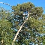 Pinus halepensis Lehti