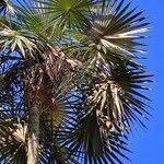 Thrinax radiata 葉