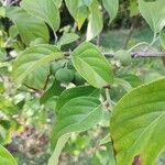 Campomanesia lineatifolia