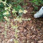 Galium guadalupense