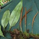 Pleopeltis wiesbaurii