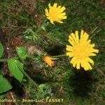 Hieracium attracticaule