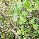 Rhamnus cathartica List