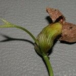 Tapirira guianensis