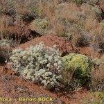Artemisia gorgonum