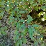 Cornus sanguinea Leaf