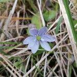 Anemone hepatica Flor