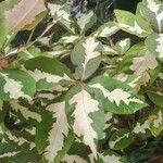 Graptophyllum pictum List