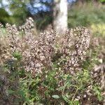 Thymus nitens