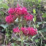 Centranthus ruber Kukka