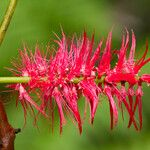 Archidendropsis fulgens