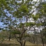 Peltophorum pterocarpum Alkat (teljes növény)