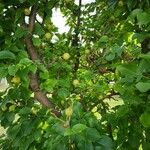 Pyrus pyrifolia Fruto