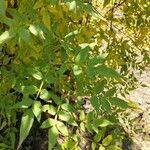Jasminum officinale Leaf