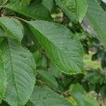 Prunus avium Leaf