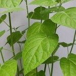 Physalis peruviana Blatt