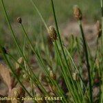 Eleocharis ovata