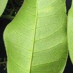 Zanthoxylum acuminatum