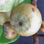 Souroubea vallicola