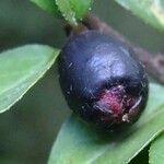 Cotoneaster nitens