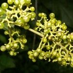 Psychotria grandis