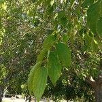 Celtis australis Hoja