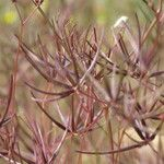 Scandix australis