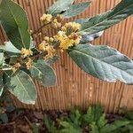 Laurus nobilis Flower