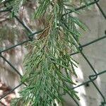 Cupressus x leylandii