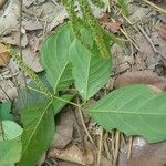 Crypteronia paniculata