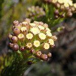 Faujasia pinifolia