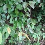 Callerya eriantha