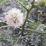 Leucaena leucocephala Flower
