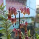 Kalanchoe pinnata Flor