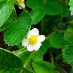 Fragaria vesca Flower