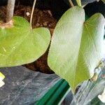 Hibiscus tiliaceus Feuille