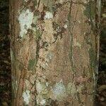 Couepia guianensis
