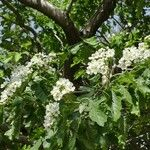 Crataegus pinnatifida
