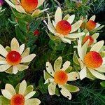 Protea caffra Flower